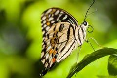 Macro de uma borboleta marrom de relaxamento Imagens de Stock Royalty Free