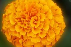 Macro de uma flor amarela bonita do Marigold Imagem de Stock