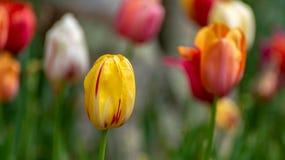 Macro de uma flor amarela com listras vermelhas imagens de stock royalty free