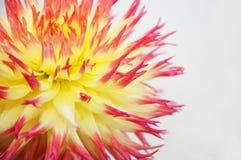 Macro de uma flor amarela da dália de Spikey Imagens de Stock Royalty Free