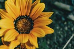 Macro de uma flor amarela de rigens do gazania imagem de stock royalty free
