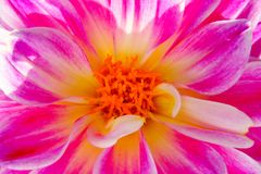 Macro de uma flor cor-de-rosa da dália com listras brancas imagens de stock royalty free