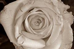 Macro de uma flor cor-de-rosa na cor do sepia imagens de stock