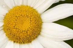 Macro de uma flor da margarida branca Fotografia de Stock Royalty Free