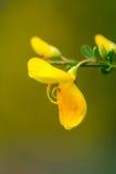 Macro de uma flor do amarelo do beaufitul Imagens de Stock Royalty Free