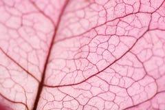 Macro de uma folha da flor de bougainville Fotos de Stock Royalty Free