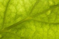 Macro de uma folha verde Fotografia de Stock Royalty Free