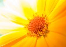 Macro de uma margarida amarela Foto de Stock
