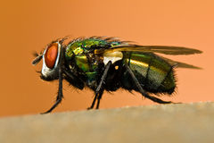 Macro de uma mosca Imagens de Stock Royalty Free