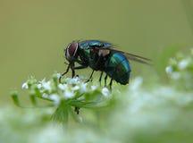 Macro de uma mosca de estrume metálica azul em uma planta foto de stock