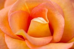 Macro de uma rosa alaranjada imagem de stock royalty free