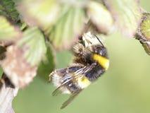Macro de un abejorro Fotografía de archivo libre de regalías