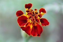 Macro de un cierre de la flor para arriba imagen de archivo libre de regalías