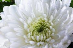 Macro de un crisantemo blanco Fotografía de archivo