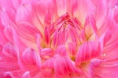 Macro de un crisantemo rosado Foto de archivo libre de regalías