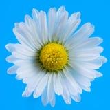 Macro de un flor de la flor de la margarita Fotos de archivo