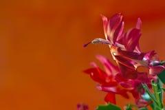 Macro de un flor del cactus de la Navidad Foto de archivo libre de regalías