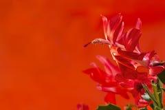 Macro de un flor rojo del cactus de la Navidad Foto de archivo libre de regalías