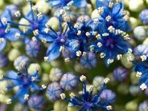Macro de un Hydrangea azul profundo imagen de archivo