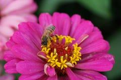 Macro de un mellifera de los Apis de la abeja del caucásico que recoge el néctar en un b Imagen de archivo