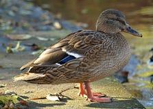 Macro de un pato hermoso imagen de archivo