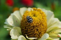 Macro de un pequeño cortador caucásico gris de la hoja del Megachile de la abeja en una d Foto de archivo libre de regalías