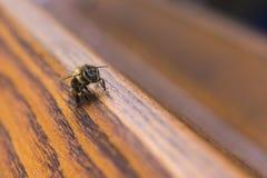 Macro de un polen que busca de la abeja Foto de archivo libre de regalías