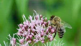 Macro de una abeja Imagen de archivo libre de regalías