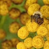 Macro de una abeja de la burbuja en Tansy Imágenes de archivo libres de regalías