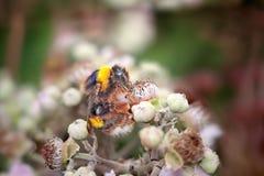 Macro de una abeja de la miel Fotografía de archivo