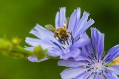 Macro de una abeja en una achicoria común Imágenes de archivo libres de regalías