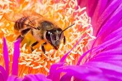 Macro de una abeja en una flor imagenes de archivo
