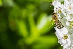 Macro de una abeja en Whitethorn Fotos de archivo libres de regalías