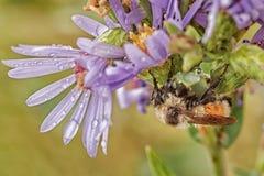 Macro de una abeja mojada Imagen de archivo