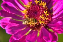 Macro de una abeja que recoge el polen en elegans decorativos del jardín de un zinnia de la flor Imagenes de archivo