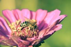 Macro de una abeja que recoge el polen en elegans decorativos del jardín de un zinnia de la flor Foto de archivo
