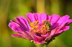 Macro de una abeja que recoge el polen en la flor decorativa del jardín Fotos de archivo