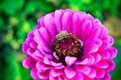 Macro de una abeja que recoge el polen en la flor decorativa del jardín Foto de archivo libre de regalías