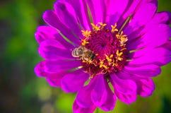 Macro de una abeja que recoge el polen en la flor decorativa del jardín Imagen de archivo