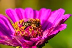 Macro de una abeja que recoge el polen en la flor decorativa del jardín Imágenes de archivo libres de regalías