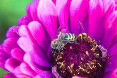 Macro de una abeja que recoge el polen en la flor decorativa del jardín Imagen de archivo libre de regalías