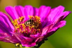 Macro de una abeja que recoge el polen en la flor decorativa del jardín Foto de archivo