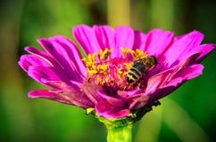 Macro de una abeja que recoge el polen en la flor decorativa del jardín Imagenes de archivo