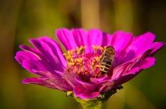 Macro de una abeja que recoge el polen en la flor decorativa del jardín Fotos de archivo libres de regalías