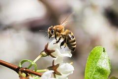 Macro de una abeja que se sienta en un flor cerrado Fotografía de archivo libre de regalías