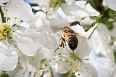 Macro de una abeja que vuela hasta un flor Foto de archivo libre de regalías