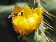 Macro de una araña y de una abeja verdes en una flor del cactus fotografía de archivo libre de regalías