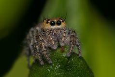 Macro de una araña de salto Foto de archivo libre de regalías