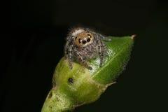Macro de una araña de salto Imagen de archivo