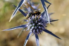 Macro de una avispa en una flor del ` s del cardo Fotos de archivo libres de regalías